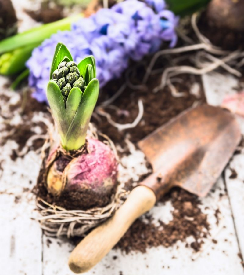 planting spring bulbs (, Where to buy Spring Bulbs